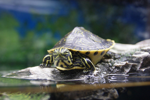 vets first pet: Learning how to care for aquatic turtles