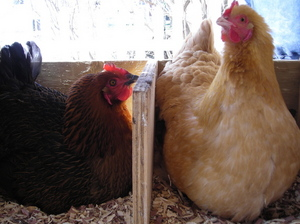 Thumbnail image for Chickens_laying_box.jpg
