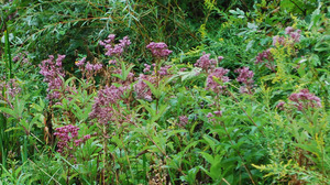 Joe_pye_weed-MBG-crop.jpg
