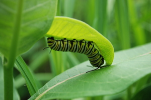monarch caterpillar1.JPG