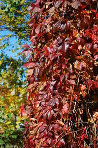 virginia creeper-fall.JPG