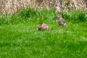focus-two-rabbits.jpg
