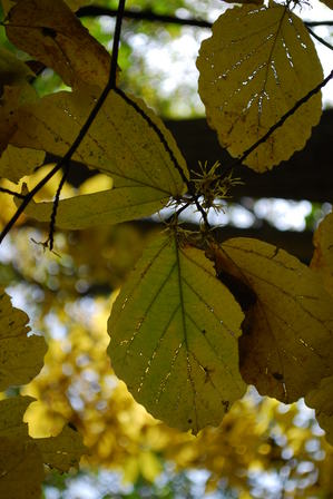 witchhazel-fall3.JPG