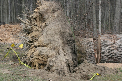 uprooted_tree_Dexter-Pinckney.JPG
