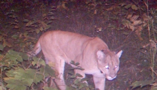 Thumbnail image for Thumbnail image for Houghton_County_cougar_364578_7.JPG
