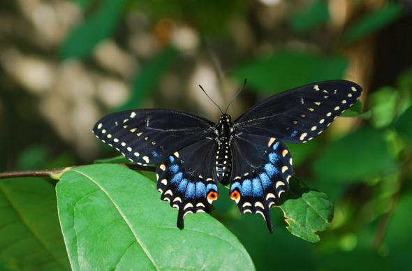 Native Butterflies In Our Midst   New Section Of Greenhouse Provides A  Resource For Attracting These Beautiful Insects With Native Plants
