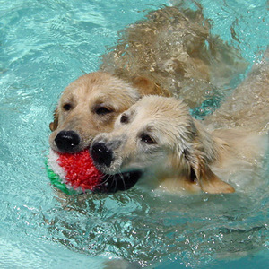 Levitt-June-2012-dogs-swimming