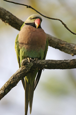 lipkeeparakeet.jpg