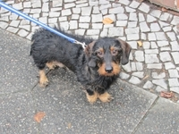 wire-haired_dachshund.jpg