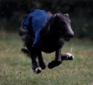 Ciar-sighthound-running-for-Best-in-Field-AAAH.jpg