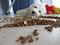 dog food floor westie.jpg