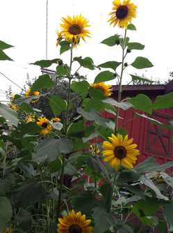 Sunflowers2012.jpg