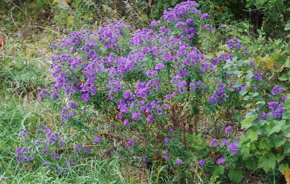 new england aster-reduced.jpg