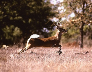 Thumbnail image for white-tail-deer.jpg