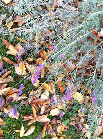 Lavendar in Fall.jpg