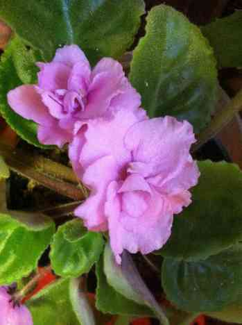 Double Pink African Violet.jpg