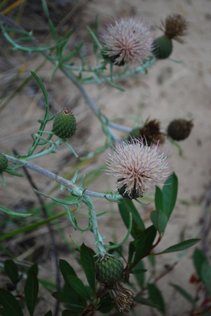 pitchers_thistle1.jpg