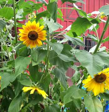 SunflowerBed2012.jpg