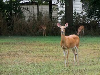 Deer-thumb-350x262-123971.jpg