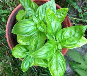 Potted Basil.jpg