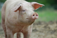 Thumbnail image for pigfarmsanctuary.jpg