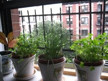 windowsill-herbs.JPG