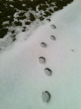 Return Of The Dexter Bear Possible Tracks Found At Hudson
