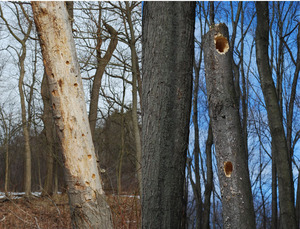 woodpecker trees.jpg
