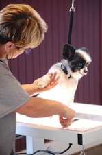 Breed_Above_Blossom_Papillon_groomer_Lori_Gotts-thumb-300x451-94186.jpg
