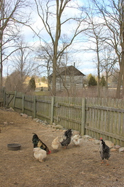 Thumbnail image for 03-14-12-cobblestone-farm-roosters.JPG