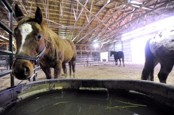 A rescue horse named Lacey drinks from a bucket at Starry Skies Equine Rescue and Sanctuary. Angela J. Cesere | AnnArbor.com