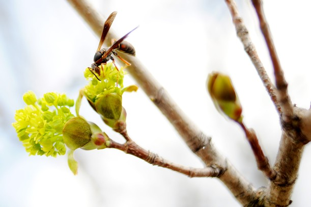 A wasp pollenates a tree blossom in Dexter on Thursday. Melanie Maxwell I AnnArbor.com