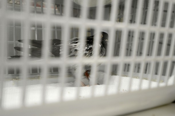 An injured pigeon is seen through the slats of a plastic basket as it recuperates at the Bird Center of Washtenaw County in Ann Arbor. Melanie Maxwell I AnnArbor.com